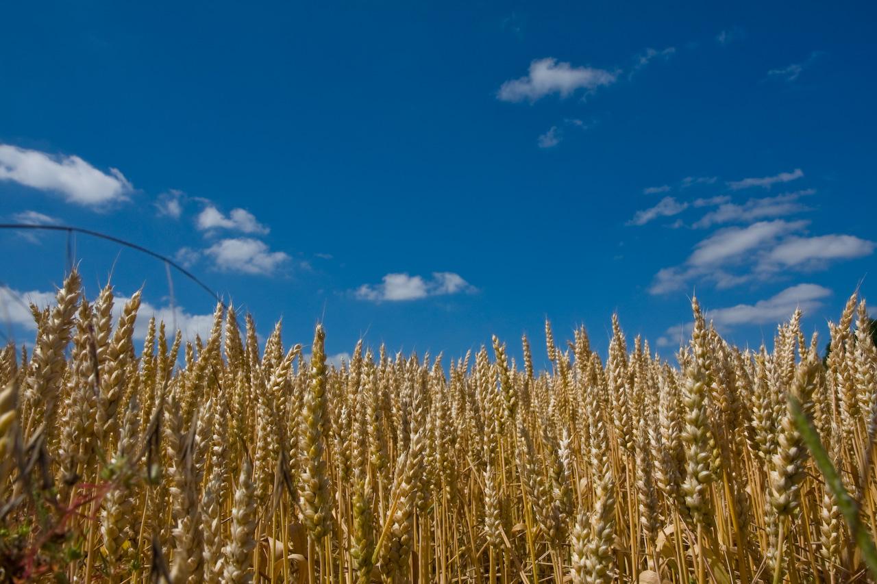 La culture du bl une solution viable et facile pour les prochains d fi de croissance de l - Culture de l echalote ...