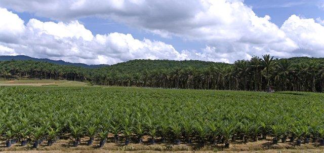 Huile de palme en Afrique