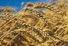 le blé en Afrique