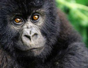 bebe-gorille-jane-goodall