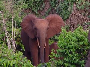 ecotourisme-elephants-cote-ivoire