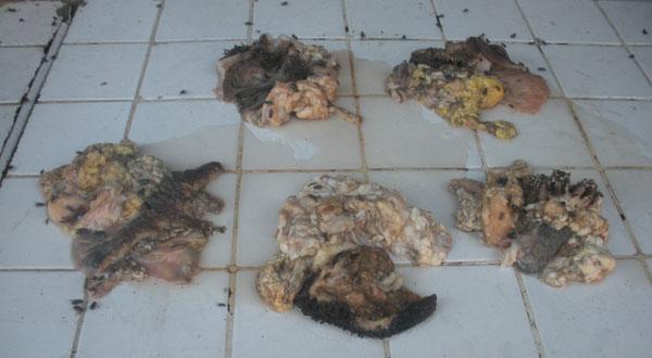 La viande présentée est en état de putréfaction et couverte de mouches