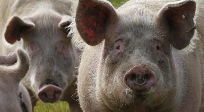elevage-porc-rdc