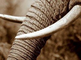 interdiction de l'ivoire